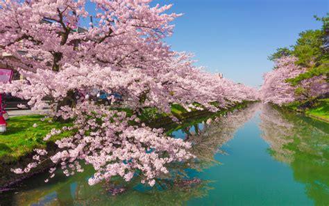 cherry tree rose flowers green river kawazu town  japan