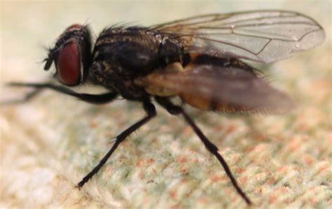 how do flies live average fly lifespan
