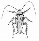 Cockroach Diagram Desertmuseum Sketch Template Coloring Credit Larger sketch template