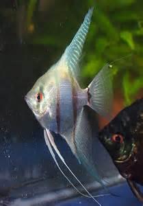 Blue Silver Angelfish