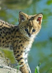 A baby Serval | .:: lovely animals ::. | Pinterest