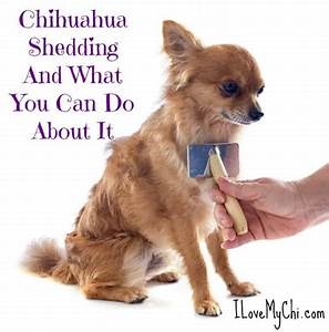 Chihuahua Shedding And What You Can Do About It I Love