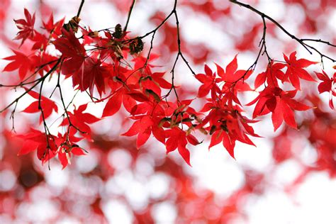 Red leaves 4K Wallpaper, Bokeh, Closeup, Autumn leaves, Maple leaves, Branches, Fall, Blurred ...