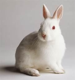 ウサギ:400字のリング: 「白いうさぎ」