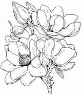 Magnolia Coloring Flower Drawing Flowers Tree Pages Drawings Gazebo Outline Magnolias Template Printable Sketch Line Easy цветочки Draw Sketches Experiment sketch template