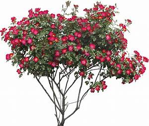 Rose Bush Png | www.pixshark.com - Images Galleries With A ...