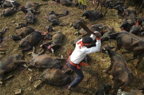 buffaloes slaughtered  nepals animal sacrifice ritual