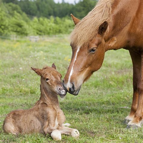 horse foal newborn chestnut icelandic smith kathleen baby horses mother photograph animal animals mothers les 9th uploaded july which appaloosa