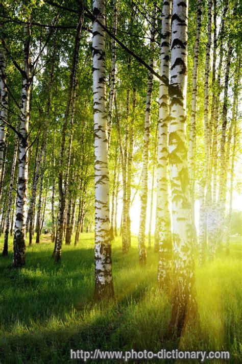 birch forest birches google birch forests summer birch tree forest photo light birchforest