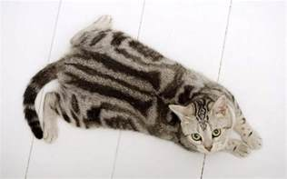 american shorthair cat dogs pets american shorthair cat