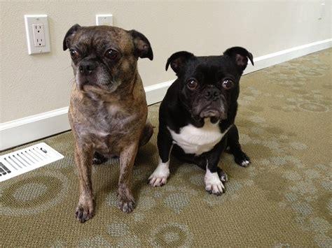 Fileexample Of Bug Dog Breed Jpg Wikimedia Commons