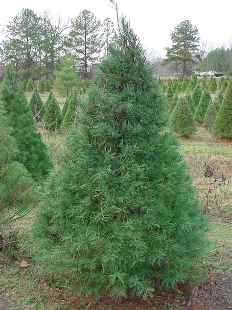 ward grove christmas tree farm types of trees