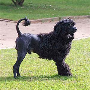 Portuguese Water Dog - History of the Breed