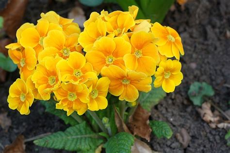 Free Photo Flower Primrose Orange Spring Free Image