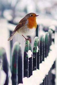 25+ best ideas about Red robin bird on Pinterest | Robins ...