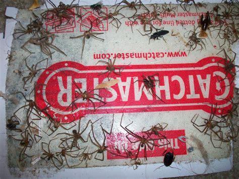 basement door cover pest how do i set up a spider glue trap