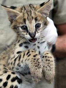 1000+ images about Serval on Pinterest | Serval kitten ...