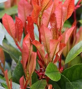 Red Robin Hochstamm : musterbild von ausgewachsene n pflanze n ~ Michelbontemps.com Haus und Dekorationen