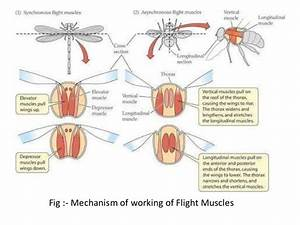 Muscular System In Insects