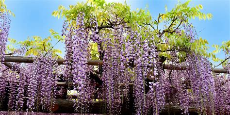 home depot  selling wisteria trees   plant