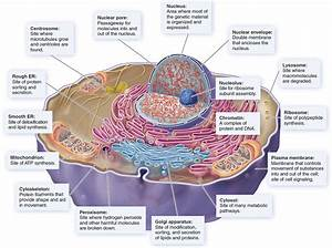 Disorders Of Organelles