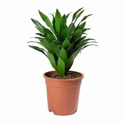 Dracaena Compacta Fragrans Plants Head Hortology Indoor