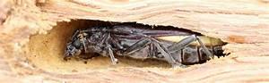 Insecte Qui Mange Le Bois : vaucluse traitement insectes bois termite capricorne ~ Farleysfitness.com Idées de Décoration