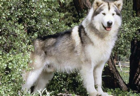 perros de raza alaskan malamute