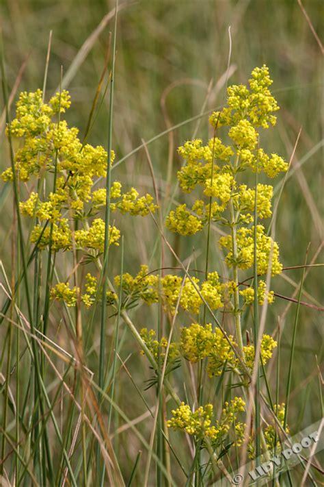 donkerpaarse bloemen 1 20 m geel walstro galium verum geel wilde bloemen
