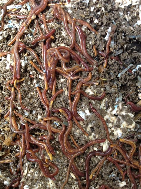 worm worms farm composting bin earthworms wiggler compost beds wigglers castings farming temperature making inside regulating raise lower fears