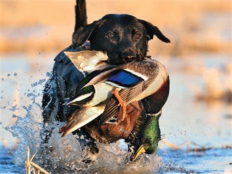 quartering training   hunting dog captain hunter