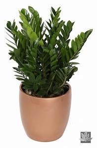 Zamioculcas Zamiifolia 39ZZ39 Zamioculcas Plants