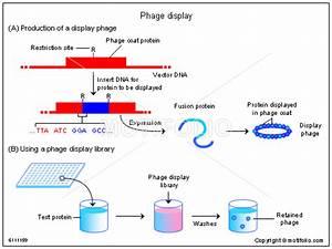 Phage Display Illustrations