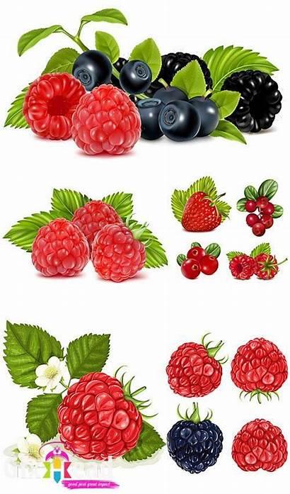 Vector Berries Blueberries Raspberries Strawberries Clipart Fruit