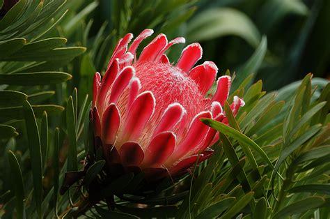 proteas proteas  effulgent flowers  challenge