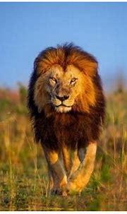 Lion Wallpapers HD Desktop Backgrounds Download Free