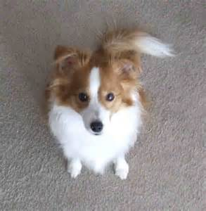Papillon and Sheltie Mix Dogs
