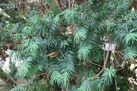 eibe schneiden formschnitt eibe taxus eibenbaum pflege schneiden hausgarten net