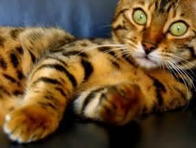 tiger cat domestic mini tiger i cats juxtapost