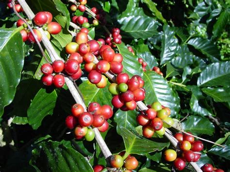Coffee Arabica   Arabica Coffee   World Crops Database
