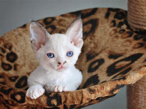 Kittens Devon Rex (chocolate Mink, Point)