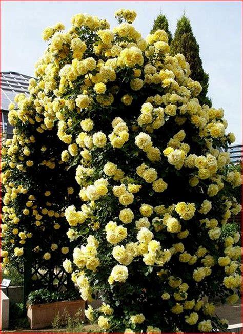 ' Casino ' Climbing Rose Plant Repeat Yellow Flowering