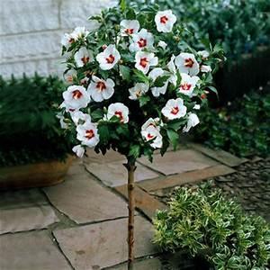 Blumen Winterhart Mehrjährig : hibiskus auf stamm rot wei von floraprima auf kaufen ~ Whattoseeinmadrid.com Haus und Dekorationen