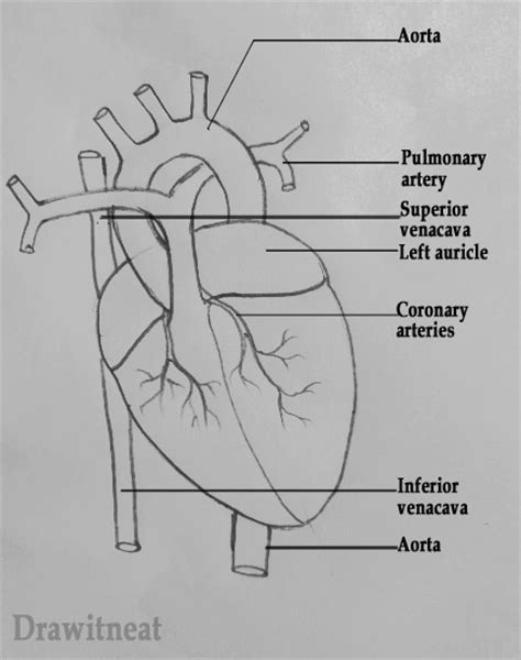draw  neat   draw human heart labeled