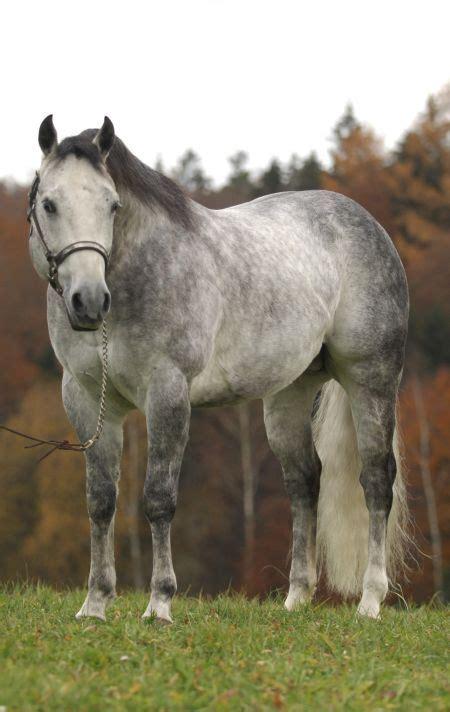 gray aqha quarter horse american stallion jac boggies grey dapple horses pretty miss 1999 stud mr smoke gun roan showgirlglitz