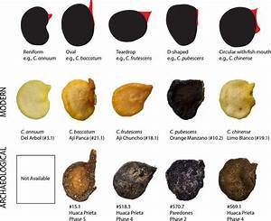 Capsicum Seed Shape Categories  Including Body And