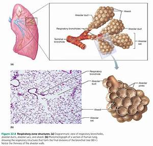 Respiratory Zone Structures   A   Diagrammatic View Of