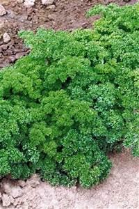 Semis De Persil : le jardin de pascaline semis du persil pour rebord de fen tre ~ Dallasstarsshop.com Idées de Décoration