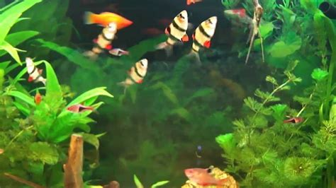 aquarium poisson eau douce aquarium d eau douce poissons exotiques d eau douce