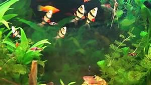 Poisson Aquarium Eau Chaude : aquarium hd aquarium d 39 eau douce poissons exotiques d ~ Mglfilm.com Idées de Décoration